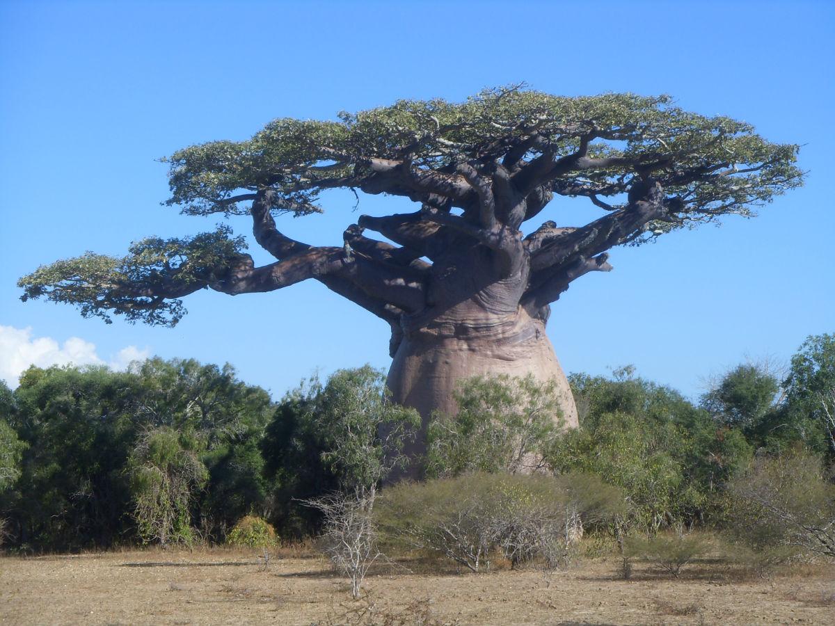 猴面包树的名称便由此而来.
