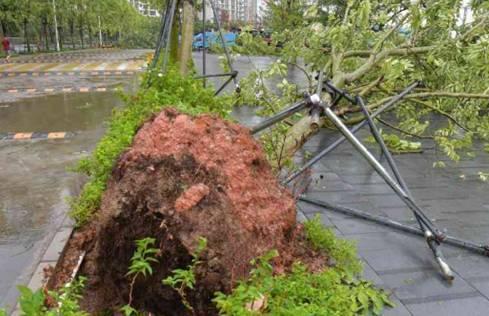 """台风""""天鸽""""肆虐刮倒大树"""