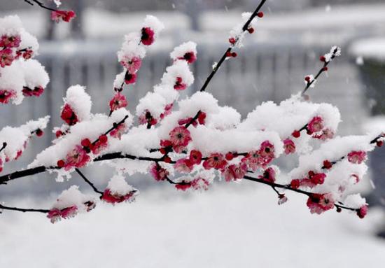梅花上的积雪